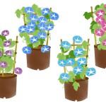 【小学生の夏休み】鉢植えあさがおの育て方。水やり・種の取り方