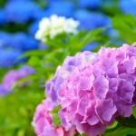 紫陽花の花言葉。白・ピンク・青の意味とプレゼントにダメな色は?
