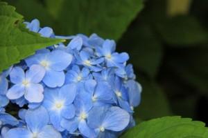 青色のあじさいの花言葉