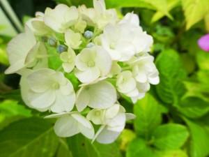 白いあじさいの花言葉