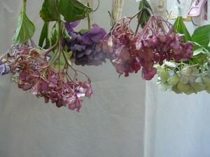 紫陽花ドライフラワーの吊るす作り方