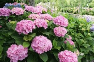 大阪府万博記念公園の紫陽花