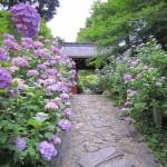 2016本光寺のあじさい開花状況。アクセス・周辺グルメ&観光情報あり
