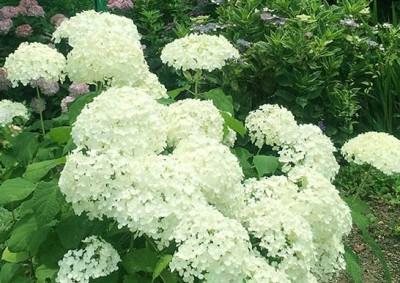 白いアナベル紫陽花