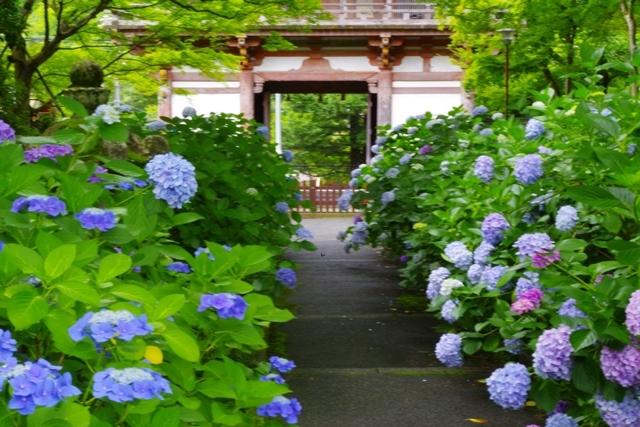 久安寺の紫陽花