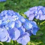 青い紫陽花の写真