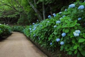 大阪府ぬかた園地のあじさいプロムナード