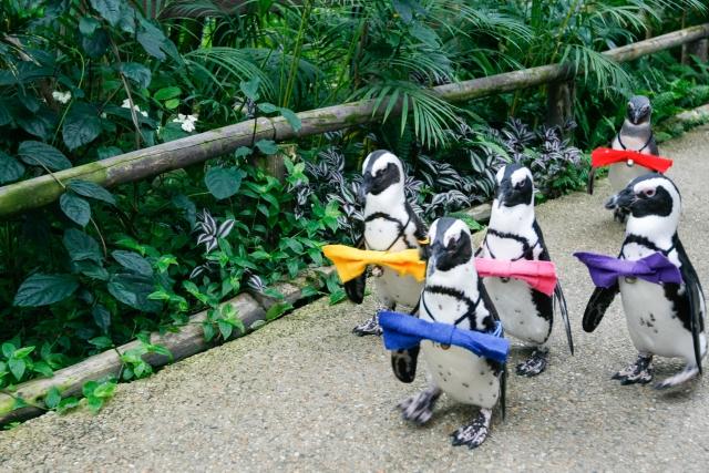 南紀白浜フンボルトペンギンの散歩