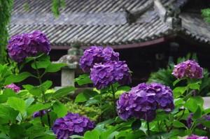 奈良県長谷寺のあじさい