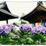 愛知県性海寺の稲沢あじさい祭り2016!開花状況や周辺スポットは?