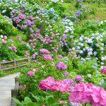 下田公園あじさい祭り&きんめ祭り2016!日程や見頃・開花状況