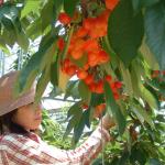 【関西】さくらんぼ狩りで人気の農園5つ。佐藤錦の食べ放題も!