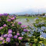 開成町あじさい祭2016日程。開花状況や周辺グルメ・観光まとめ
