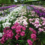 水郷佐原あやめ祭り2016開花状況。無料駐車場や注目イベントは?