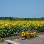 北竜町ひまわり祭り2016!見頃や開花状況・花火大会の日程は?