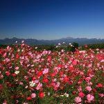 鼻高展望花の丘コスモス祭り