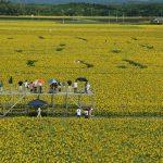 高鍋町ひまわり畑