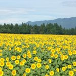 津南ひまわり広場2016!畑の開花状況やライトアップ日程・ランチ情報
