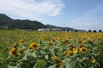 笠岡市ひまわりフェス
