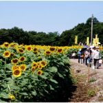 栃木かみのかわサンフラワー祭り2016日程!開花状況やアクセス