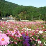兵庫県丹波市・清住コスモス園2016!開花状況や周辺ランチ・駐車場