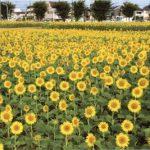 ひまわりガーデン武蔵村山2016!開花状況&無料の周辺スポット!