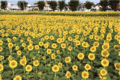 武蔵村山ひまわり畑
