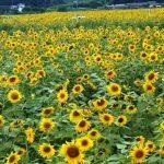 栃木益子町ひまわり祭り2016!見頃や開花状況。無料駐車場やランチ。