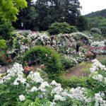 滝ノ入ローズガーデン秋のバラ祭り2016日程!見頃や開花状況は?