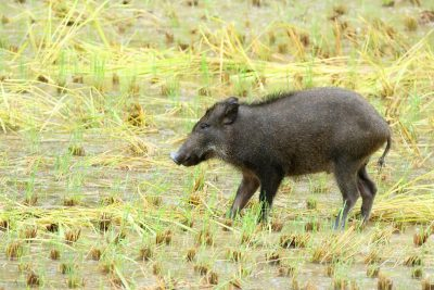 畑にいる猪