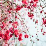 桃の花の枝
